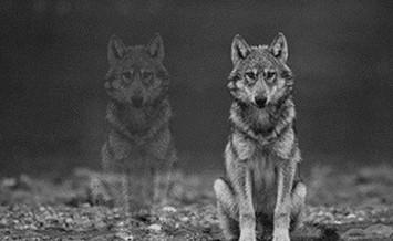 Come controllare la rabbia: la storia dei 2 lupi…